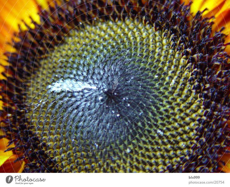 Blumenauge Sonnenblume Sommer Natur Pflanze Garten