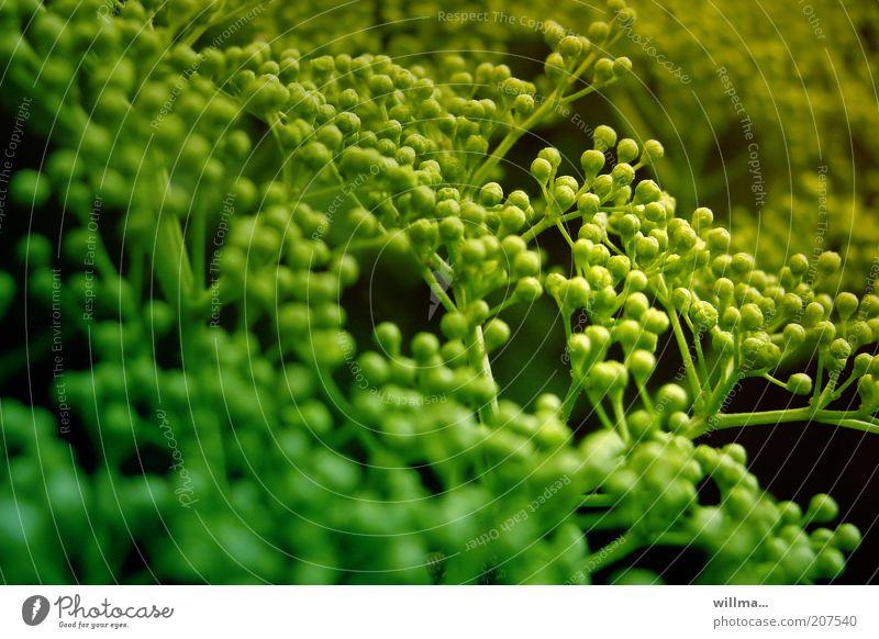 Perlendolde Natur Pflanze Sträucher grün unreif Beeren Zweig Doldenblüte Doldenblütler Unschärfe