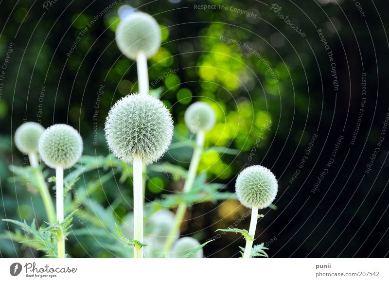 Bacteria Umwelt Natur Pflanze Blüte Grünpflanze exotisch Duft ästhetisch elegant schön natürlich retro stachelig wild grau grün schwarz Farbfoto Außenaufnahme