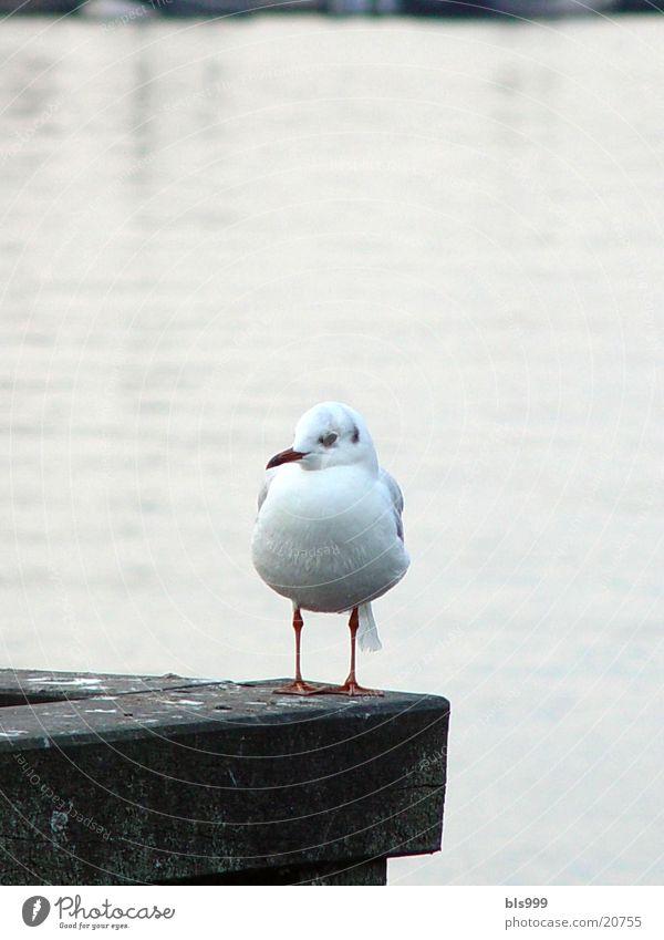 Standhafte Möwe Meer Tier Verkehr Hafen Ostsee Möwe Nordsee