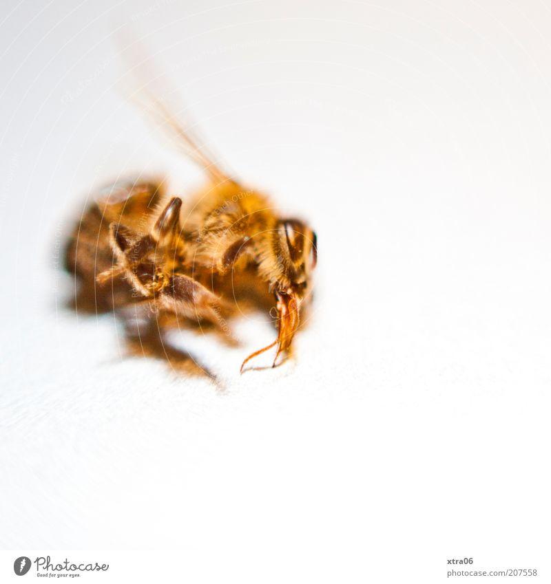 friedlicher schlaf weiß Tier gelb Tod Beine gold Flügel Insekt Makroaufnahme Wespen Textfreiraum Todeskampf Totes Tier
