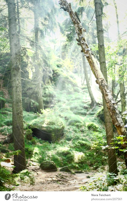 märchenwald Umwelt Natur Landschaft Pflanze Sommer Klima Schönes Wetter Baum Gras Sträucher Moos Grünpflanze Nutzpflanze Wildpflanze Wald ästhetisch frisch