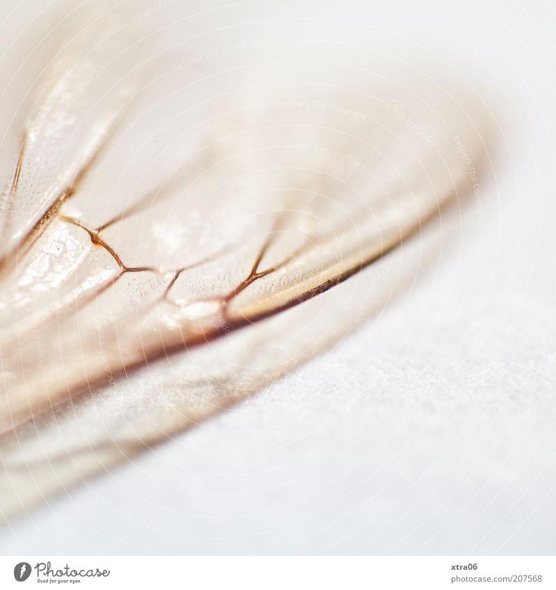 flügel weiß Tier ästhetisch Flügel Insekt zart Makroaufnahme fein zerbrechlich