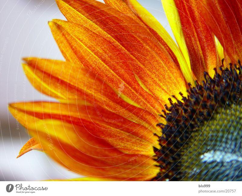 Blumenflammen Sonnenblume Pflanze gelb braun Natur Makroaufnahme