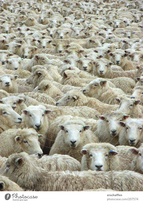 geMÄHcker ruhig Tier mehrere weich authentisch Tiergesicht beobachten Fell außergewöhnlich Gelassenheit Neugier Langeweile viele Schaf Zusammenhalt Interesse