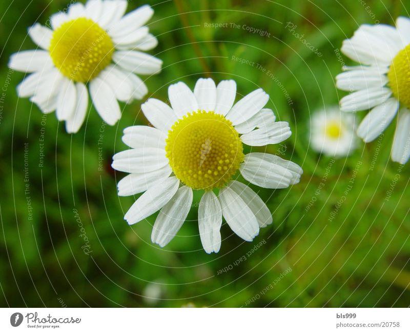 Kamille Natur Pflanze Garten Tee Heilpflanzen