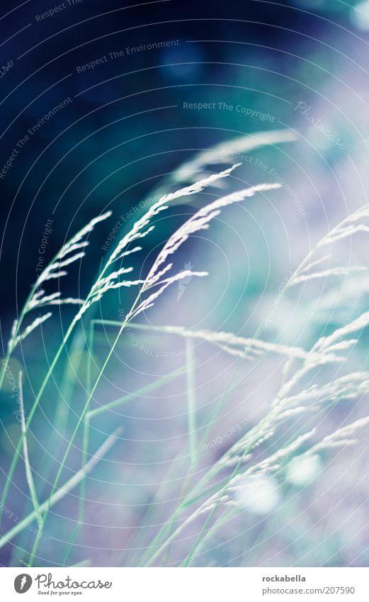 fish are jumpin and the cotton is high. Natur Pflanze ruhig Wiese Gras Bewegung Stil Wetter Wind elegant ästhetisch einfach dünn harmonisch Grasland Färbung