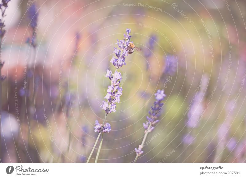 Purple 1 Natur schön Pflanze Sommer Tier Blüte Gras Wachstum Sträucher violett Insekt zart natürlich Biene Wildtier Schönes Wetter