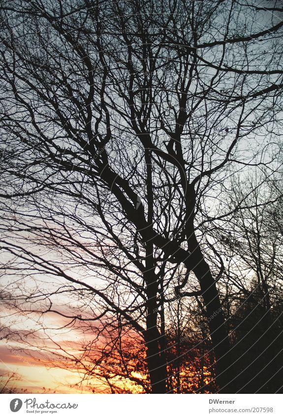 Winterabend Umwelt Natur Landschaft Pflanze Himmel Nachthimmel Sonnenaufgang Sonnenuntergang Klima Schönes Wetter Nordlicht Baum Wald leuchten schön rot Gefühle