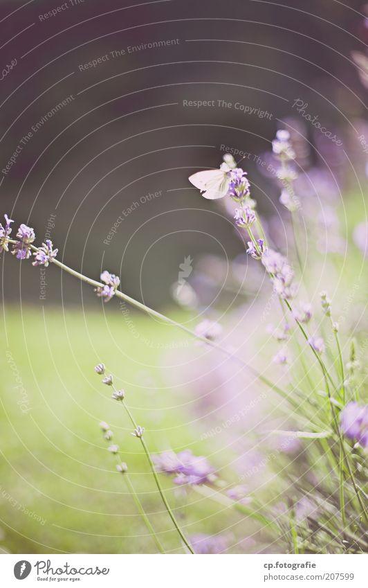 Purple 2 Natur Blume Pflanze Sommer Tier natürlich Schmetterling Duft Lavendel Kräuter & Gewürze