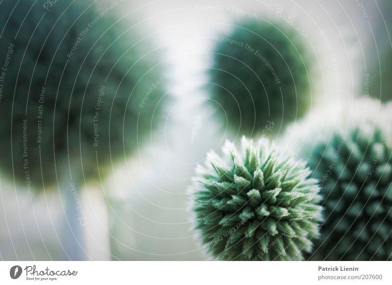 Umlaufbahn Umwelt Natur Pflanze Urelemente Sommer Klima Wetter Blume exotisch Distel stechen Spitze Kugel rund Ferne Farbfoto Gedeckte Farben Nahaufnahme