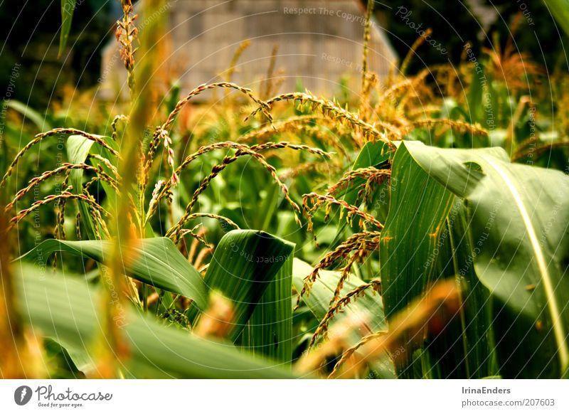 Maiskornfeld Getreide Sommer Natur Pflanze Blatt Nutzpflanze Menschenleer schön grün Leben Feld mehrfarbig Außenaufnahme Nahaufnahme Tag Schwache Tiefenschärfe