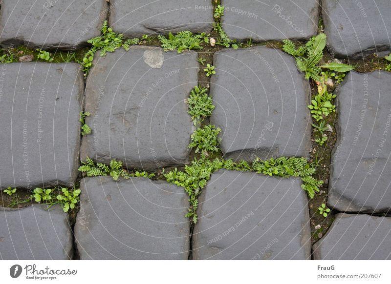 Altstadtpflaster alt Pflanze Straße Stein Wege & Pfade historisch Kopfsteinpflaster Unkraut