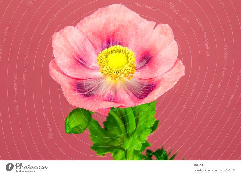 Schlafmohn,Blüte Rauschmittel Medikament Pflanze violett Sucht Mohn Opium Alkaloid Betäubungsmittel Narkotikum Pharmzie Gift Asien Farbfoto Nahaufnahme