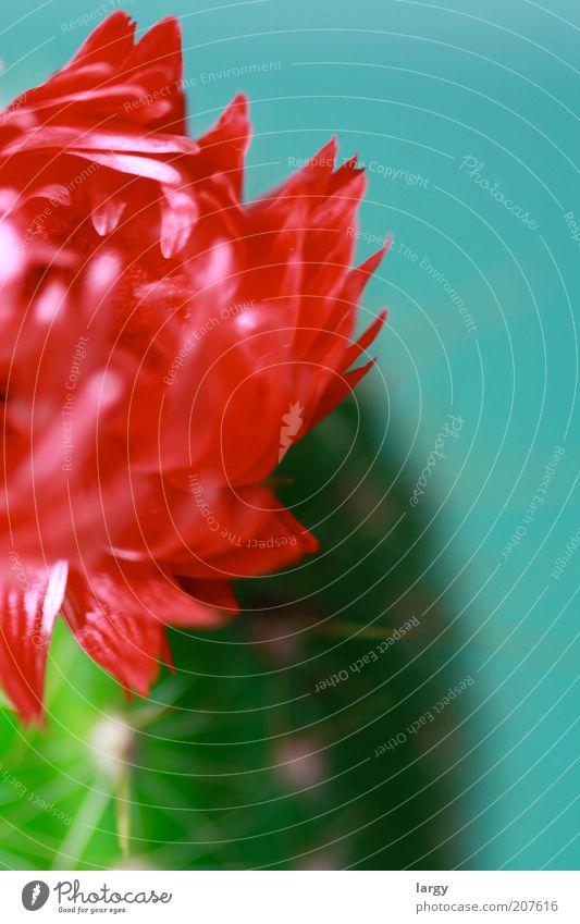 Schönheit eine Kaktus Pflanze Blühend ästhetisch Farbfoto Studioaufnahme Kunstlicht Blüte Kakteenblüte Nahaufnahme Detailaufnahme Bildausschnitt rot Blütenblatt
