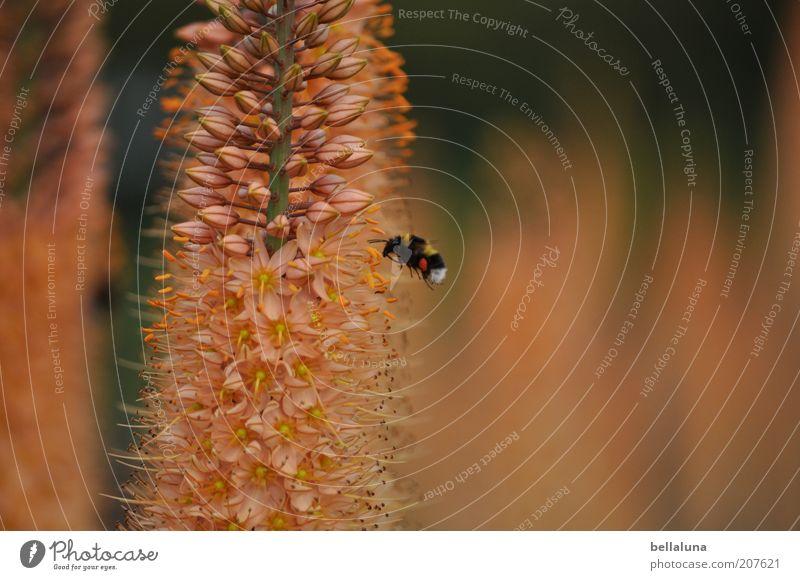 Hummelflug Natur Pflanze Blume Tier Umwelt Blüte Wärme fliegen Wildtier Insekt Blütenknospen Wildpflanze bestäuben Summen Blütenstauden
