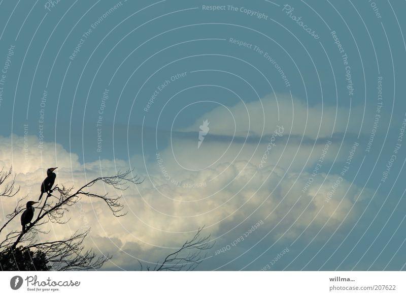 kormorane Himmel Wolken Vogel Kormoran blau sitzen Ruderfüßer Fischfresser warten Ast Tierpaar Fischräuber Artenschutz Umweltschutz paarweise Silhouette ruhig
