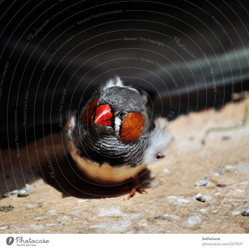 Was guckst du??? Umwelt Natur Tier Vogel 1 Fink Zebrafink Sonnenlicht Tiergesicht Tierporträt Blick in die Kamera Schnabel rot Nahaufnahme Farbfoto mehrfarbig