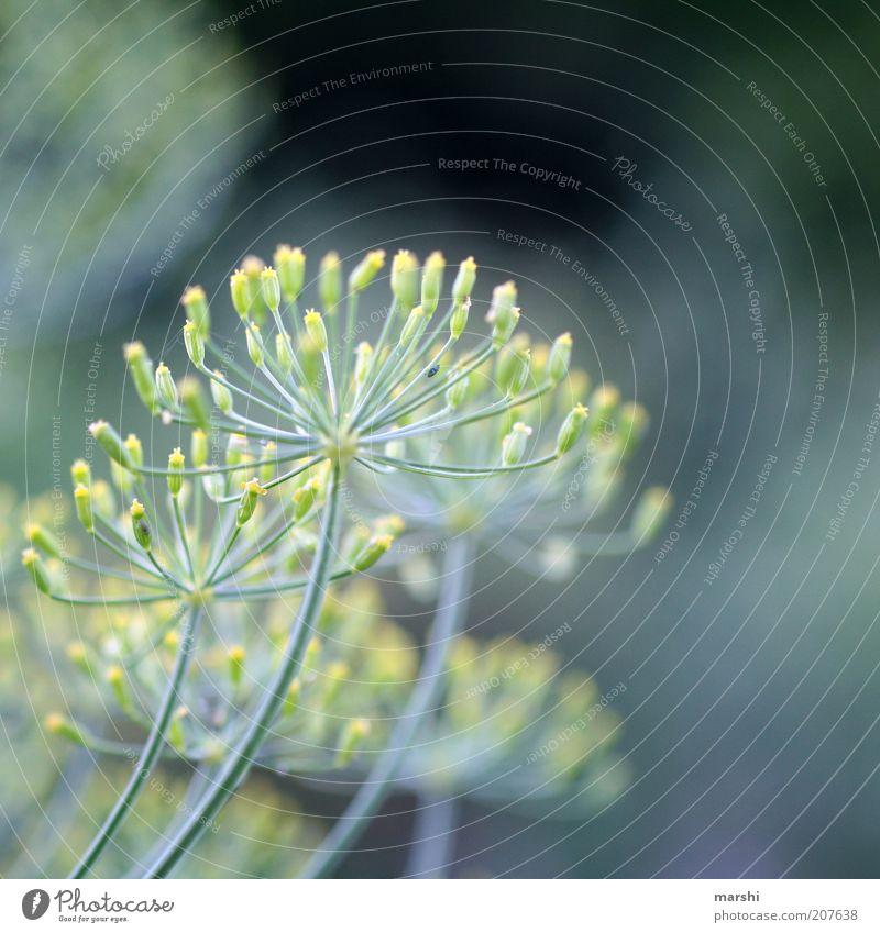 es roch so gut... Natur grün blau Pflanze Sommer Blüte Frühling zart Kräuter & Gewürze lecker Geschmackssinn Staubfäden geschmackvoll Unschärfe Blütenstiel Nutzpflanze