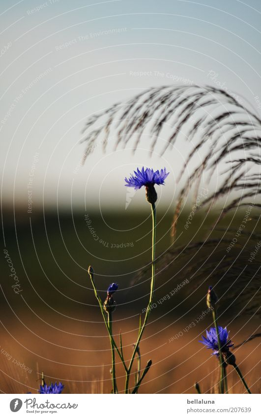 Beschützt Natur Himmel Blume Pflanze Sommer Blüte Gras Wetter Umwelt Wachstum Klima Schönes Wetter Kornblume Nutzpflanze Wolkenloser Himmel Wildpflanze