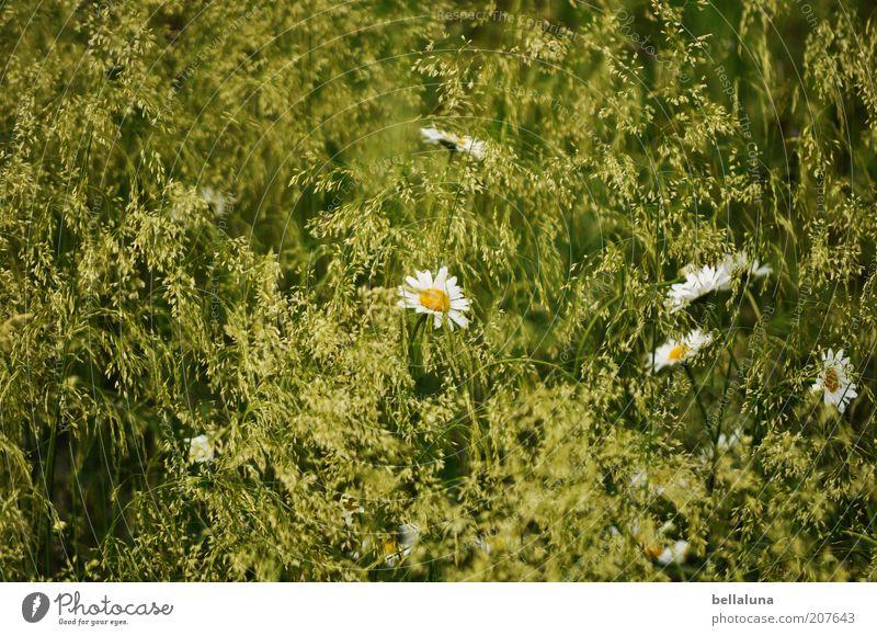 wundervoller Sommer Umwelt Natur Pflanze Klima Wetter Schönes Wetter Wärme Blume Gras Blüte Grünpflanze Wildpflanze Wiese Feld Wachstum schön Margerite