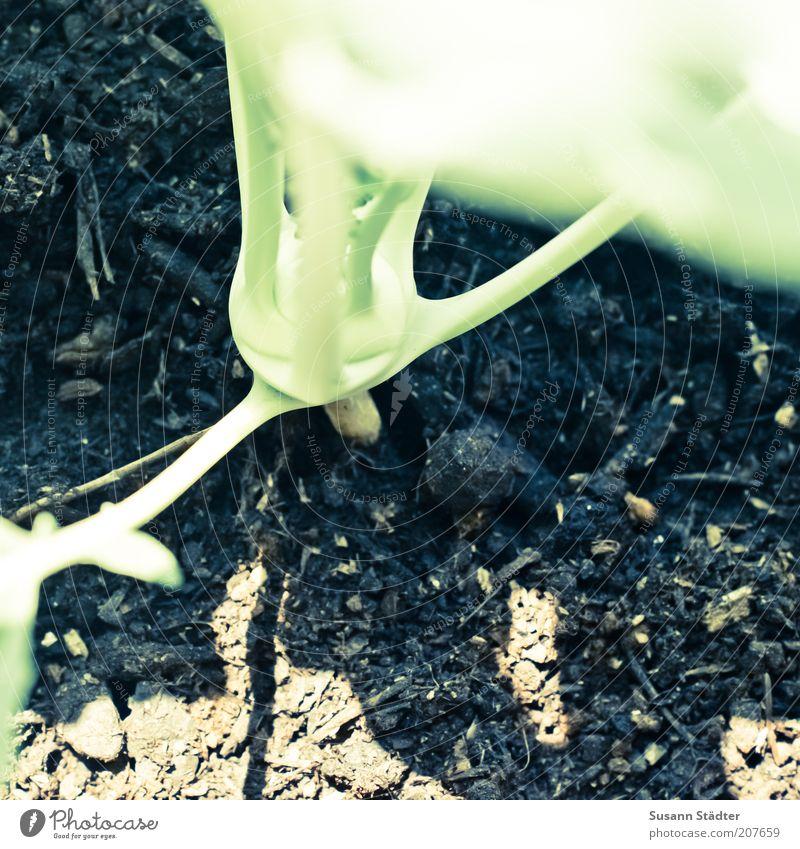 Herr Kohl Lebensmittel Gemüse Ernährung Bioprodukte Vegetarische Ernährung Kohlrabi grün Erde Beet Wachstum klein Gedeckte Farben Außenaufnahme Nahaufnahme