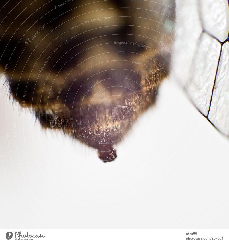 hintern 1 Tier dick Insekt Flügel Hinterteil Farbfoto Innenaufnahme Nahaufnahme Detailaufnahme Makroaufnahme Textfreiraum unten Hintergrund neutral