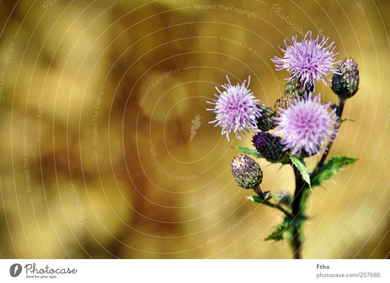 Kornfeldrand Blume Pflanze Sommer ruhig Blüte violett Duft Sommertag Sommergefühl Blütenstauden
