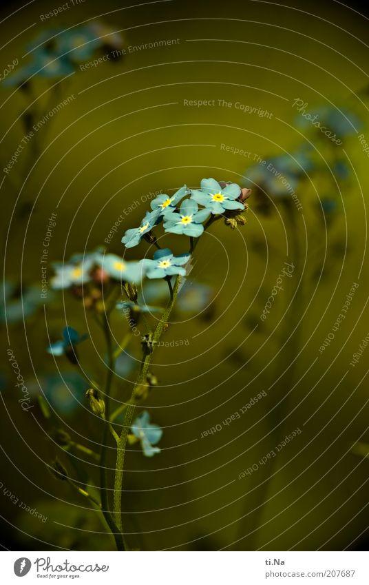 kleine Glücksbringer Umwelt Natur Pflanze Blume Blüte Wildpflanze Vergißmeinnicht Blühend Duft Wachstum schön blau grün Farbfoto Nahaufnahme Detailaufnahme
