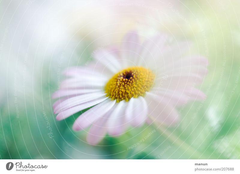 rosa Margerite Natur Sommer Pflanze Blume Blüte Sommerblumen Blütenblatt Blühend Wachstum Duft hell schön zart sanft weich Pastellton Farbfoto