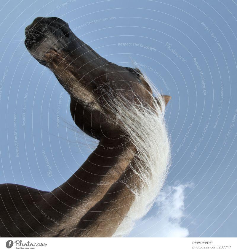 blickwinkel Himmel blau schön Sommer Ferien & Urlaub & Reisen Tier Freiheit Bewegung blond Freizeit & Hobby Ausflug Perspektive natürlich Pferd drehen Hals