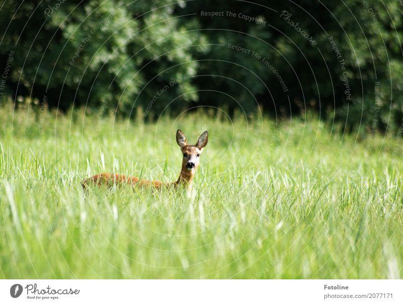Bambi Umwelt Natur Landschaft Pflanze Tier Sommer Schönes Wetter Gras Wiese Wald Tiergesicht Fell 1 frei nah natürlich Neugier schön weich braun grün Reh