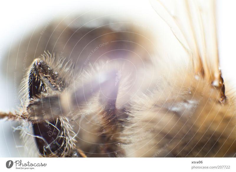 haarig Tier authentisch Insekt Flügel Beine Fell Farbfoto Innenaufnahme Nahaufnahme Detailaufnahme Makroaufnahme Hintergrund neutral braun unerkannt unkenntlich
