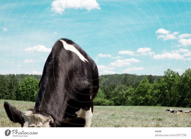 Rinderwahn Umwelt Natur Landschaft Tier Himmel Wolken Wiese Nutztier Kuh 1 Fressen authentisch natürlich blau grün schwarz Landleben Biologische Landwirtschaft