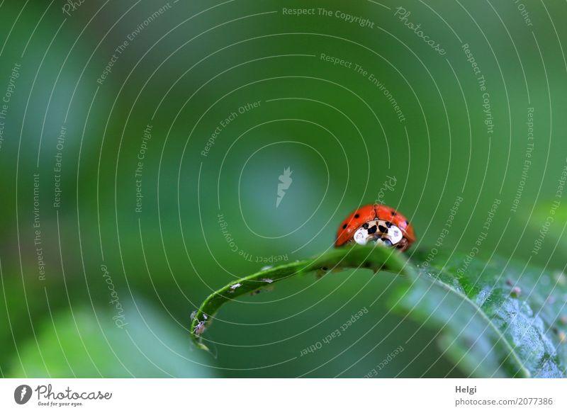 im Schlemmerparadies Umwelt Natur Pflanze Tier Frühling Blatt Garten Käfer Laus Tiergruppe Fressen krabbeln authentisch klein natürlich grau grün rot schwarz