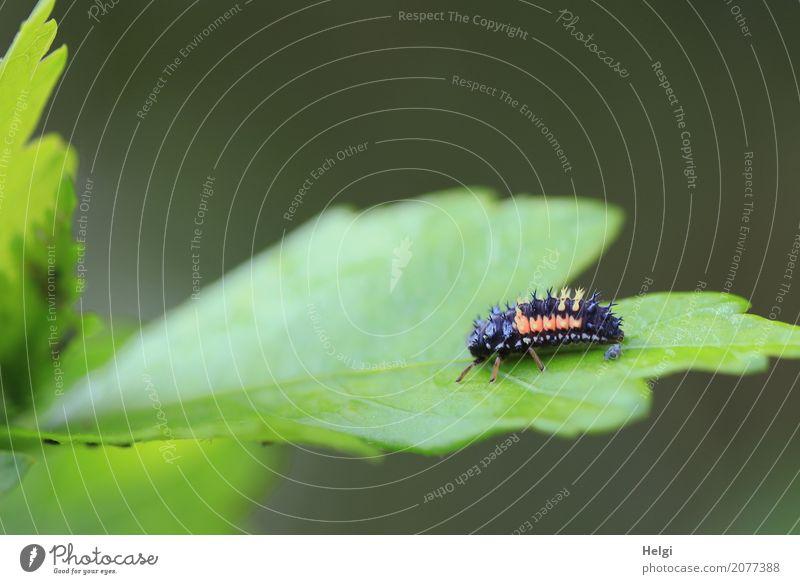 Marienkäfers Kinderstube Natur Pflanze grün Blatt Tier schwarz Tierjunges Umwelt Leben Frühling natürlich klein außergewöhnlich Garten grau orange