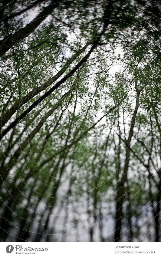 Ekstase Umwelt Natur Pflanze Baum Grünpflanze Farbfoto Außenaufnahme Schatten Unschärfe Wald Froschperspektive Blätterdach aufwärts himmelwärts