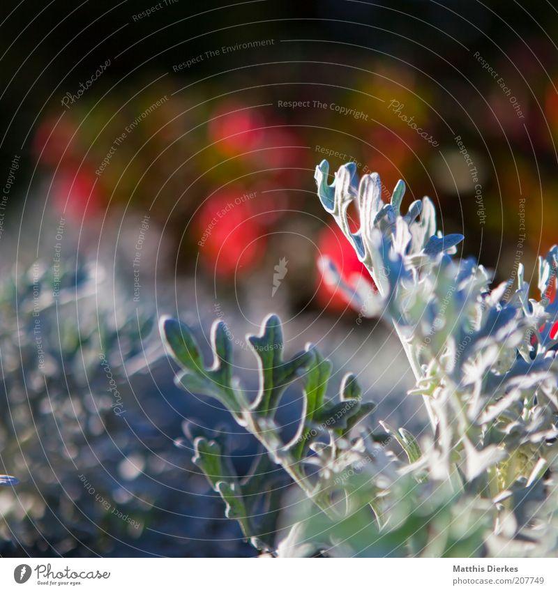 Weißes Zeug weiß grün Pflanze rot Blatt ästhetisch violett außergewöhnlich Kräuter & Gewürze Schönes Wetter exotisch Grünpflanze Makroaufnahme Wildpflanze