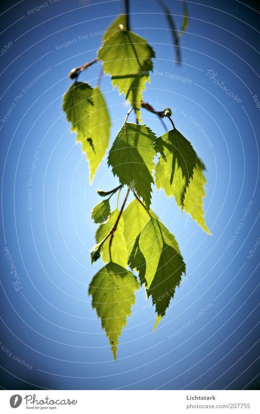 einfach gruen Pflanze Baum Blatt Grünpflanze blau grün rein Stil Farbfoto Außenaufnahme Himmel Zweig Detailaufnahme freihängend Menschenleer Ast Tag