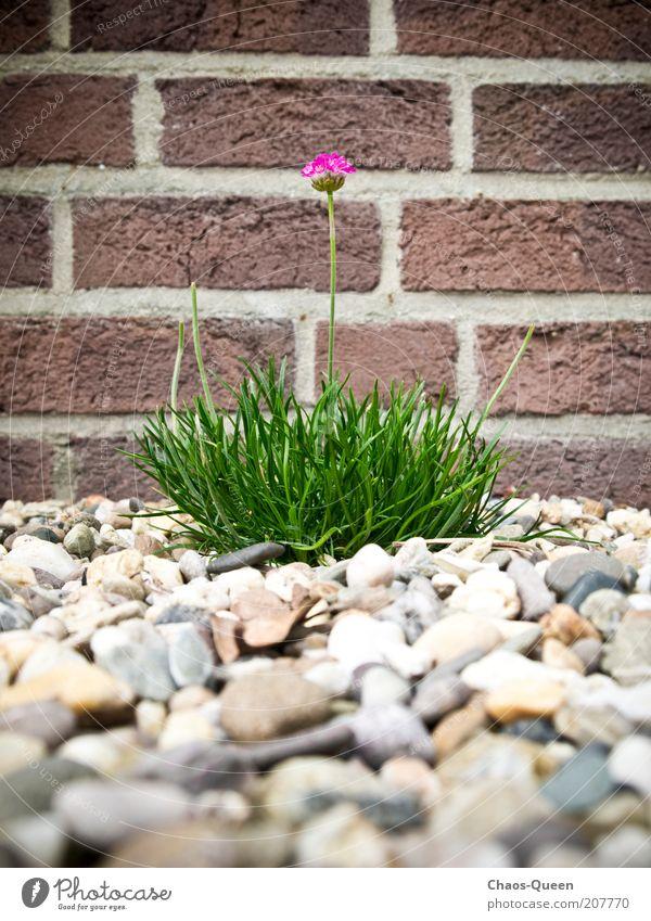 Mauerblümchen Natur schön Blume grün Pflanze rot Sommer Farbe Leben Wand Blüte Garten Stein braun