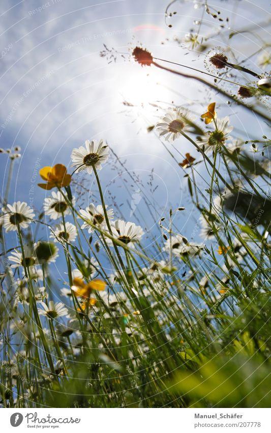 Sommerwiese Natur weiß Sonne blau Pflanze gelb Erholung Wiese Blüte Gras Perspektive Wachstum Blühend aufwärts Botanik
