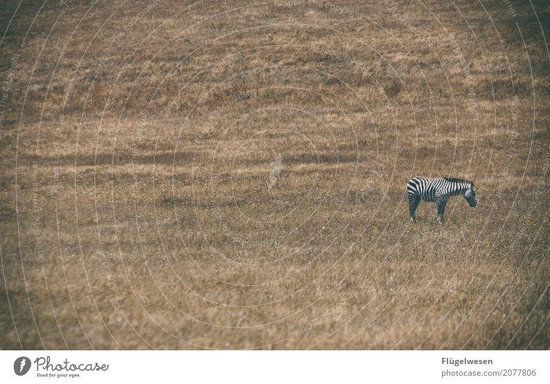 Abrakazebra Gras Sträucher Tier Nutztier Wildtier 1 Leben Zebra Ödland trocken Trockengebiet Streifen Einsamkeit einzeln tierisch Tierschutz Tierjunges Wildnis