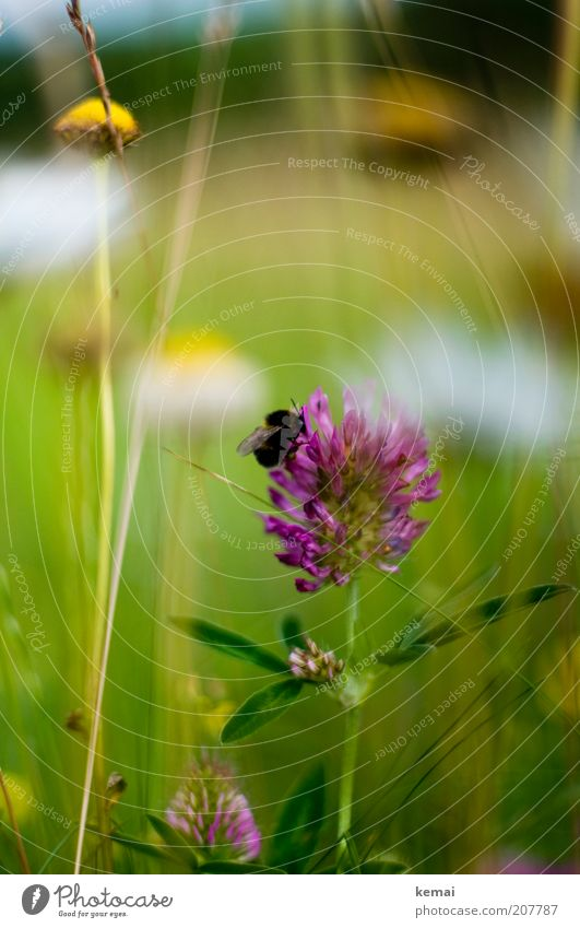 Klee Natur Blume Pflanze Sommer Tier Wiese Blüte Gras Umwelt Klima violett Flügel natürlich Blühend Wildtier Schönes Wetter
