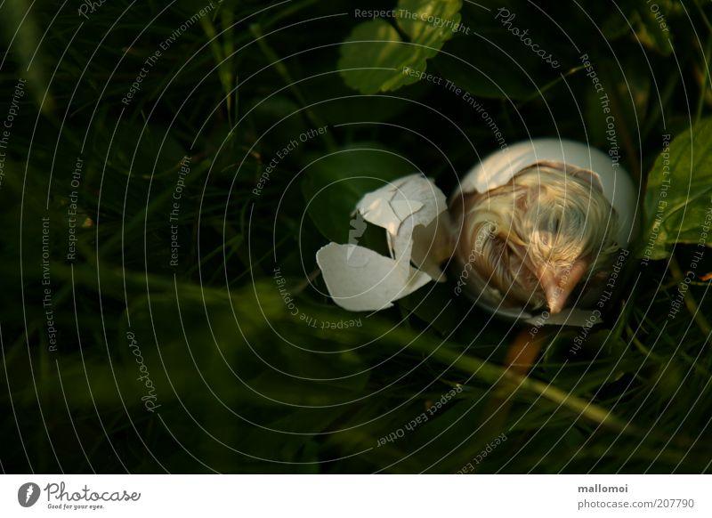 nicht durchgekommen Natur Leben Tod Traurigkeit Vogel Beginn Trauer Wachstum Ende Schutz natürlich Ei anstrengen Geburt Haushuhn
