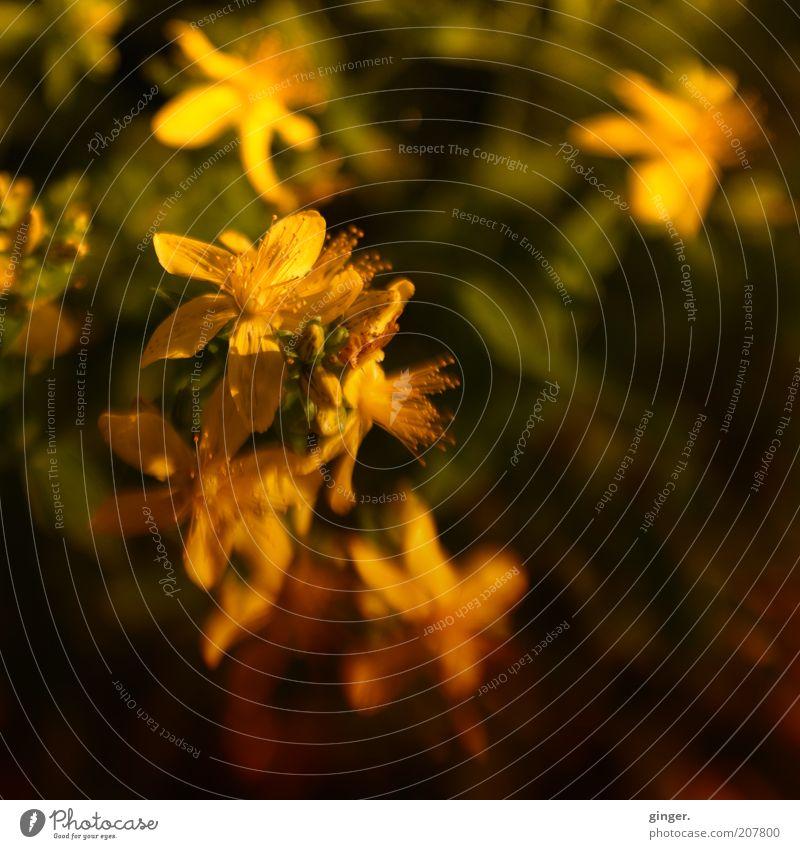 Tüpfel-Johanniskraut Umwelt Natur Pflanze Sommer Blüte Nutzpflanze dunkel natürlich gelb Heilpflanzen Blütenstempel Blütenblatt Pollen Dämmerung