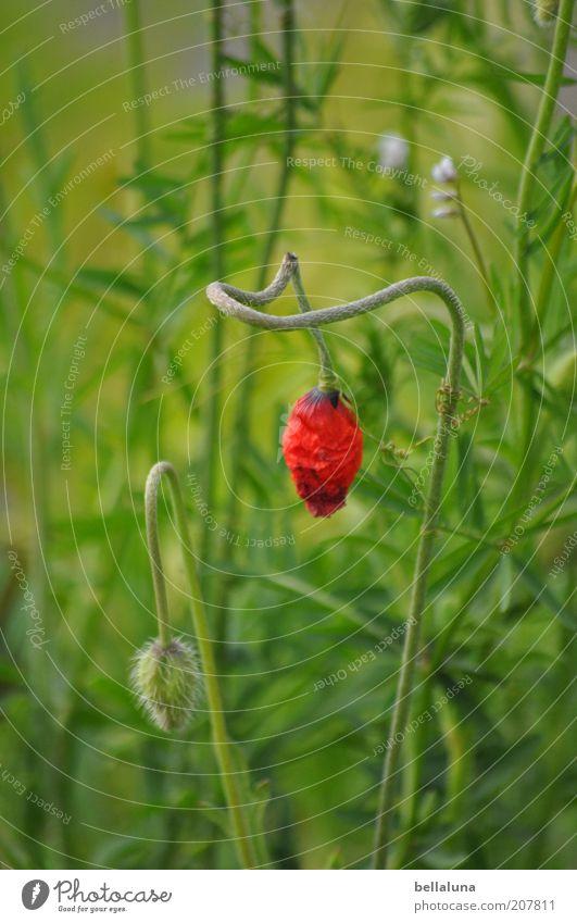 Laß den Kopf nicht hängen! Natur grün schön Pflanze rot Blume Umwelt Gras Blüte Wetter Klima Wachstum Blühend Schönes Wetter Mohn Stengel