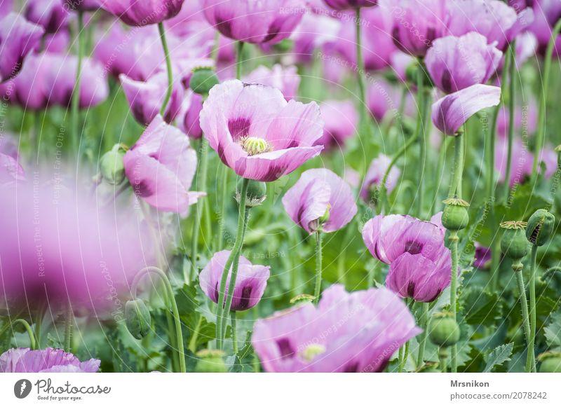Mohnfeld Natur Frühling Sommer Pflanze Blüte Nutzpflanze Garten Park Wiese Feld Duft einzigartig Freizeit & Hobby Idylle Unendlichkeit Mohnblüte Mohnkapsel