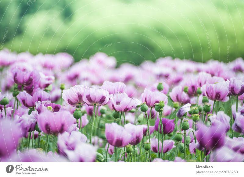 Mohnfeld Natur Frühling Sommer Pflanze Blüte Nutzpflanze Wiese Feld frei Unendlichkeit schön Mohnblüte Mohnkapsel Mohnblatt Feldfrüchte Feldrand backmohn rosa