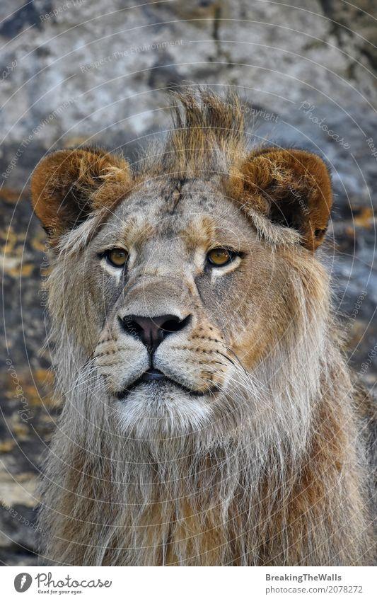 Schließen Sie herauf Porträt des jungen netten Löwes, der Kamera betrachtet Natur Tier Wildtier Tiergesicht Zoo 1 Blick schön niedlich wild Kraft Macht