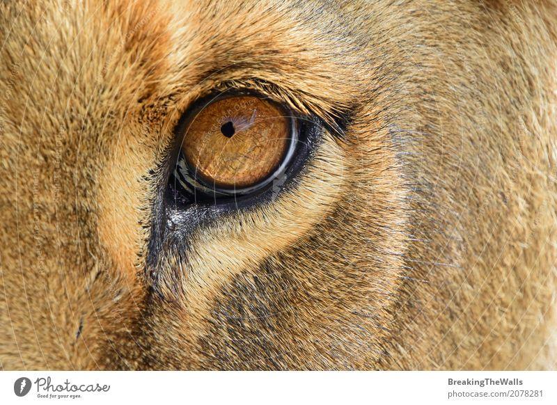 Extrem nah oben vom Löwinauge, das Kamera betrachtet Natur Tier Wildtier Tiergesicht 1 Blick schön stark wild braun gelb Tapferkeit Macht Mut Vorsicht Neugier